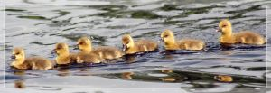 The Duckling Express by sturm
