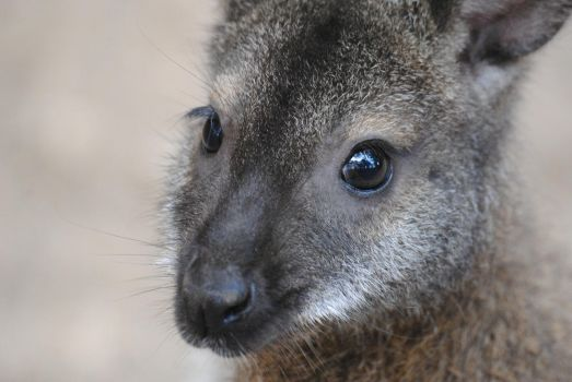 Red-necked wallaby by Gredinia