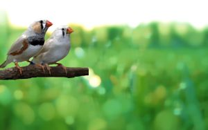 Zebra Finches by SgtGecko