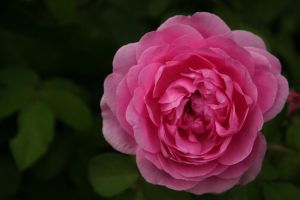 Pink Rose by Peaveygott
