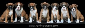Seven boxer babies in a row by RoninBoxers