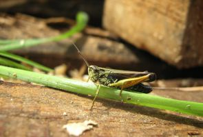 Grasshopper by MikeMS