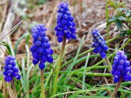 Grape Hyacinth Formation by ThatFreakYouHate