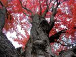 Close up of Big Red Tree by AG88