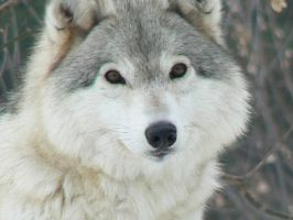 Wolf's Grin by oneas