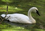 Swimming Swan by Michies-Photographyy