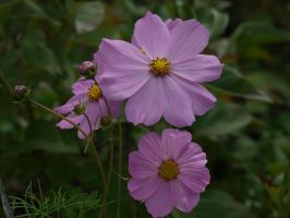 Cosmos 31 by botanystock