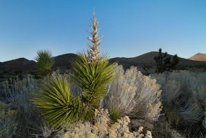 Joshua Trees by Elijah-Snow