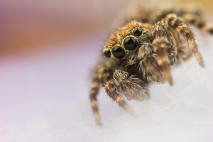 Jumping Spider 8 by Abovelifesize