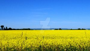 Field of Mustard by Digibug