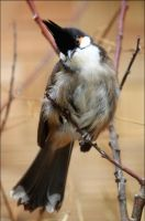 Red-whiskered bulbul. by Evey-Eyes