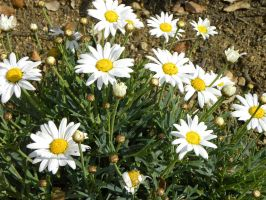 ..Marguerites by Flore-stock