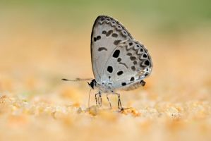 Common Hedge blue 070713 2 by inckurei