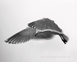 Seagull 04 by andras120