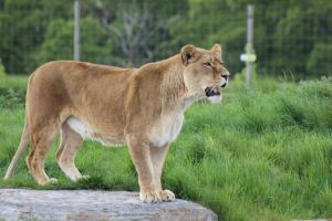Lioness 1 by lucky128stocks