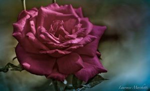 Delicate rose by Gallynette