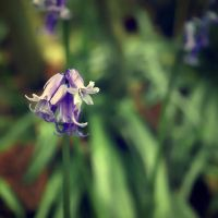 Ring, Bluebells, ring by RickHaigh