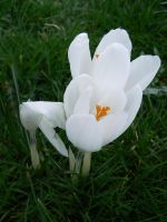 Perce Neige by clairwitch