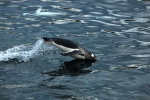 Penguin Porpoise Take 2 by Shadow-and-Flame-86