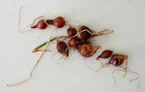 Baby Onions by AfricanObserver