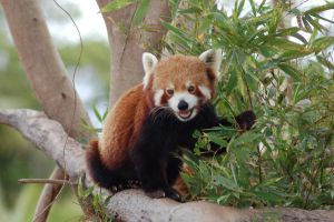 Red panda 9 by Chunga-Stock