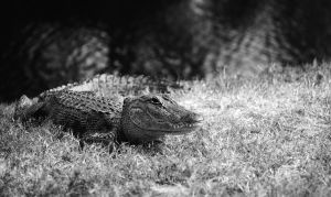 young gator by hashbr0wn