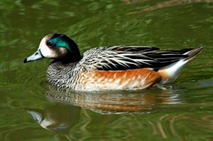 Wigeon by Tinap