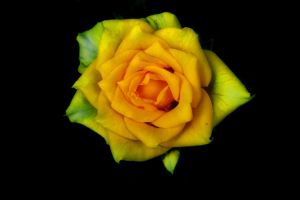 Yellow Rose... by ToxicChick