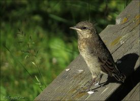 Young Northern wheatear by Loneiris