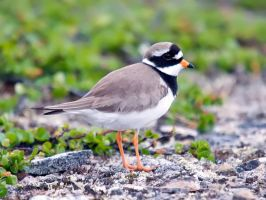 Ringed Plover 01 by nordfold