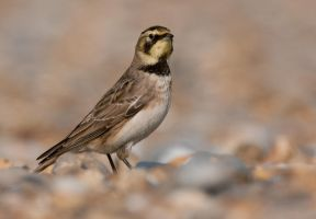 Shallow- Horned Lark or Shore Lark by Jamie-MacArthur