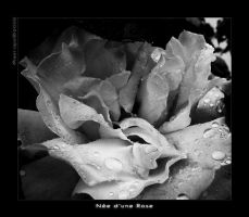 .: Nee d'une Rose :. by maerope