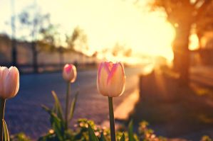 Tulips in the morning light by JackieTran