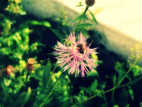 Bee on the flower by dulce91bellutza