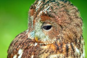 Brown-Owl_III by deoroller