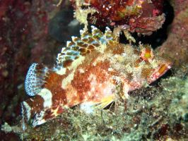 Scorpion fish by Akamasdiver