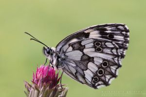 Melanargia  galatea by Mantide