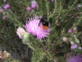 Thistle Bumblebee by spike110