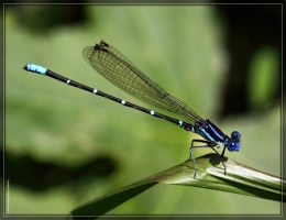 Blue-ringed Dancer 50D0003693 by Cristian-M
