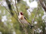 goldfinch by Lionessrules