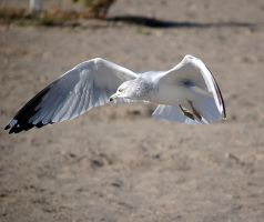seagull 0620 by loveandtears