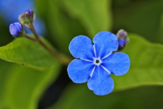 Omphalodes by Nietra
