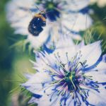 Nigella and bee by arnopiel
