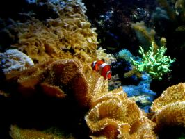 Clown fish in Coral by Zilch17
