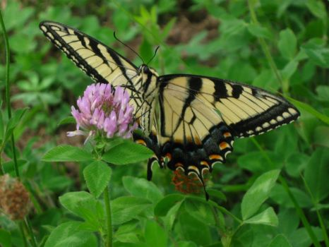 Monarch butterfly 2 by SummersKiss