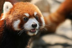 Red panda face by JuhaniViitanen