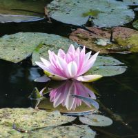 Water lily of old chanel by andersvolker