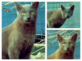 Russian Blue Cat 1 by bibarry
