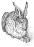 Hare (after Durer) by seanser