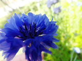 blue cornflower by IamNasher